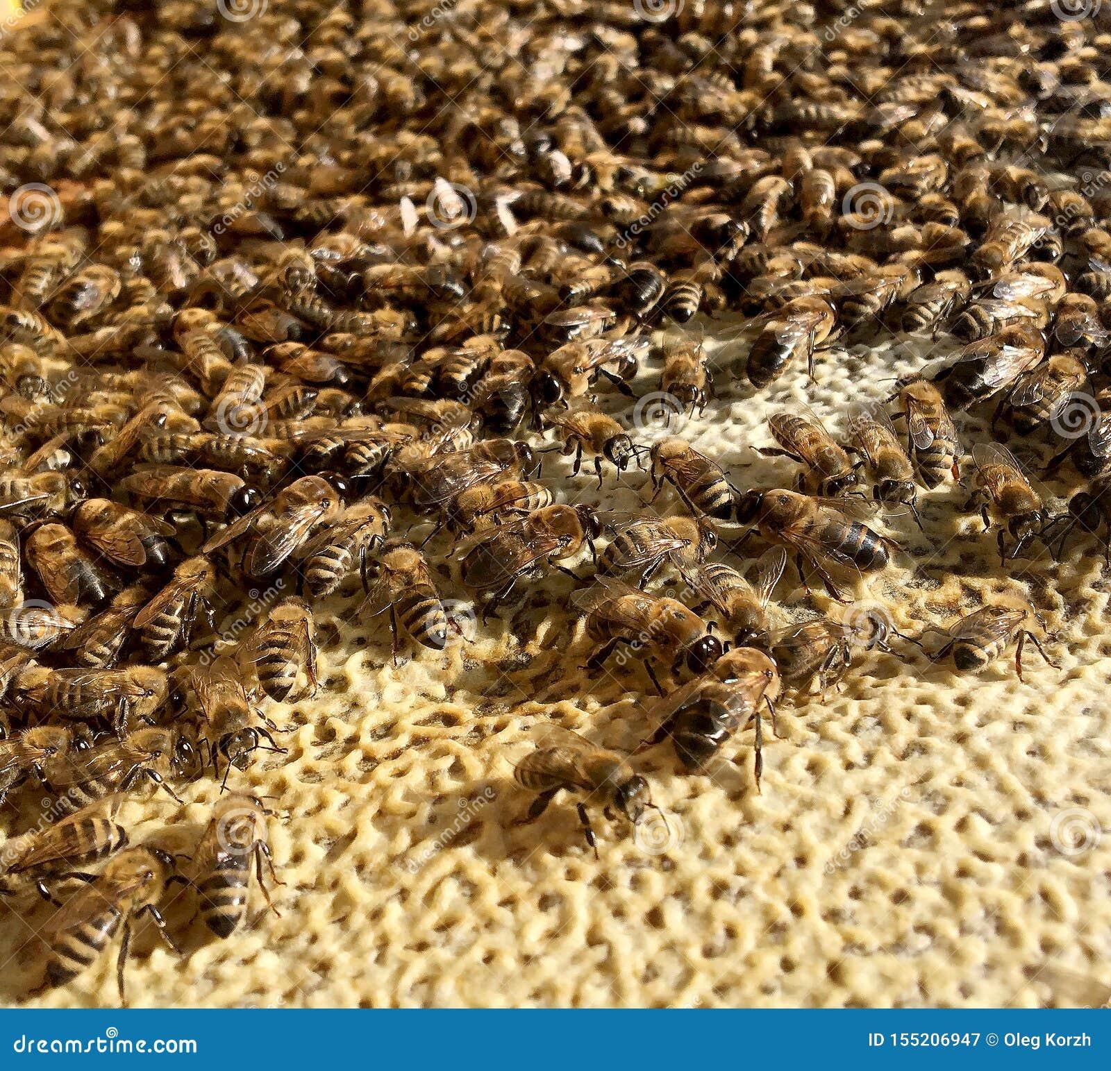 Abstrakcjonistyczna sześciokąt struktura jest honeycomb od pszczoła roju wypełniającego z złotym miodem
