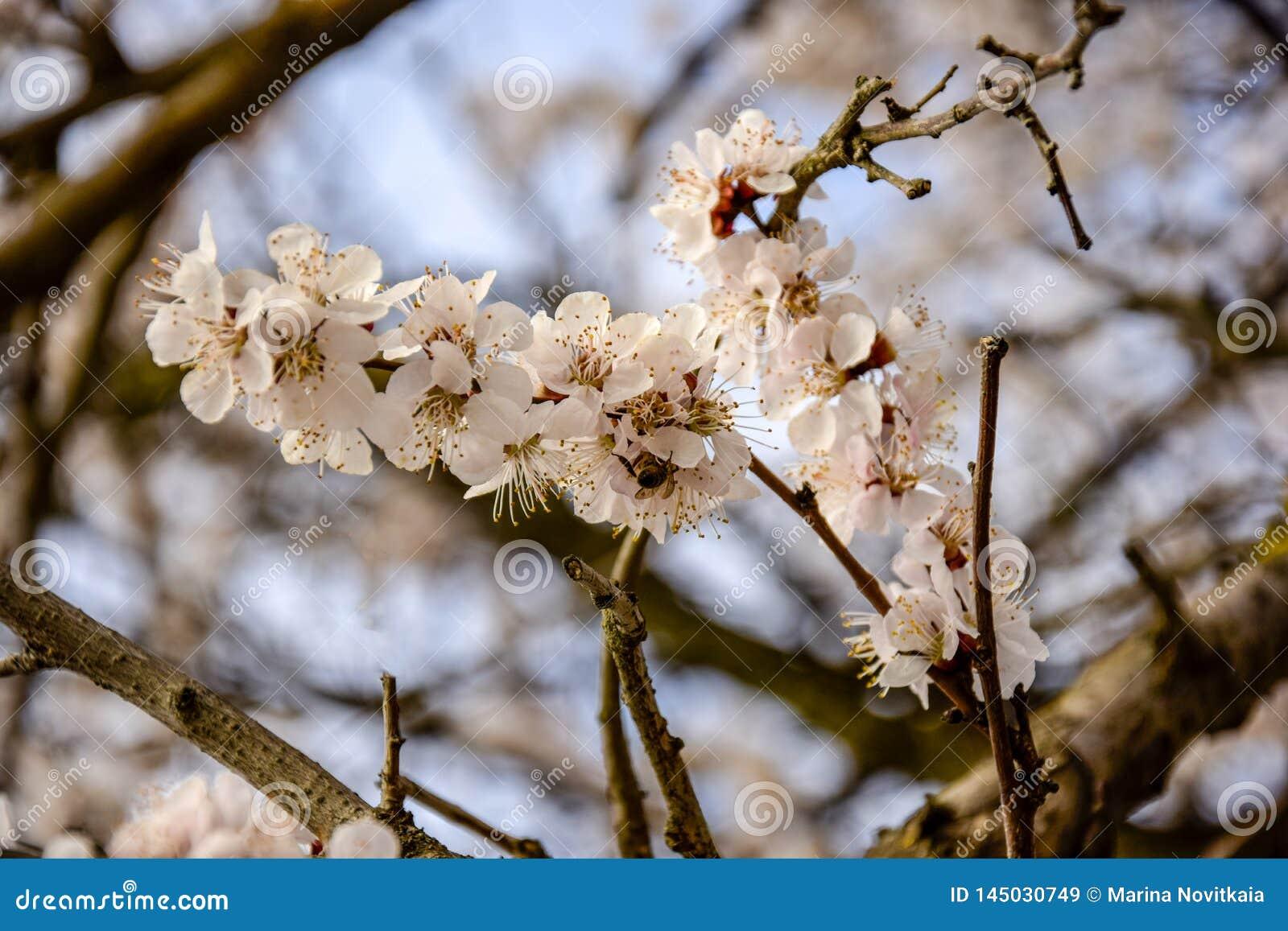 Abstrakcjonistyczni Naturalni t?a Z okwitni?cie moreli Delikatnymi kwiatami