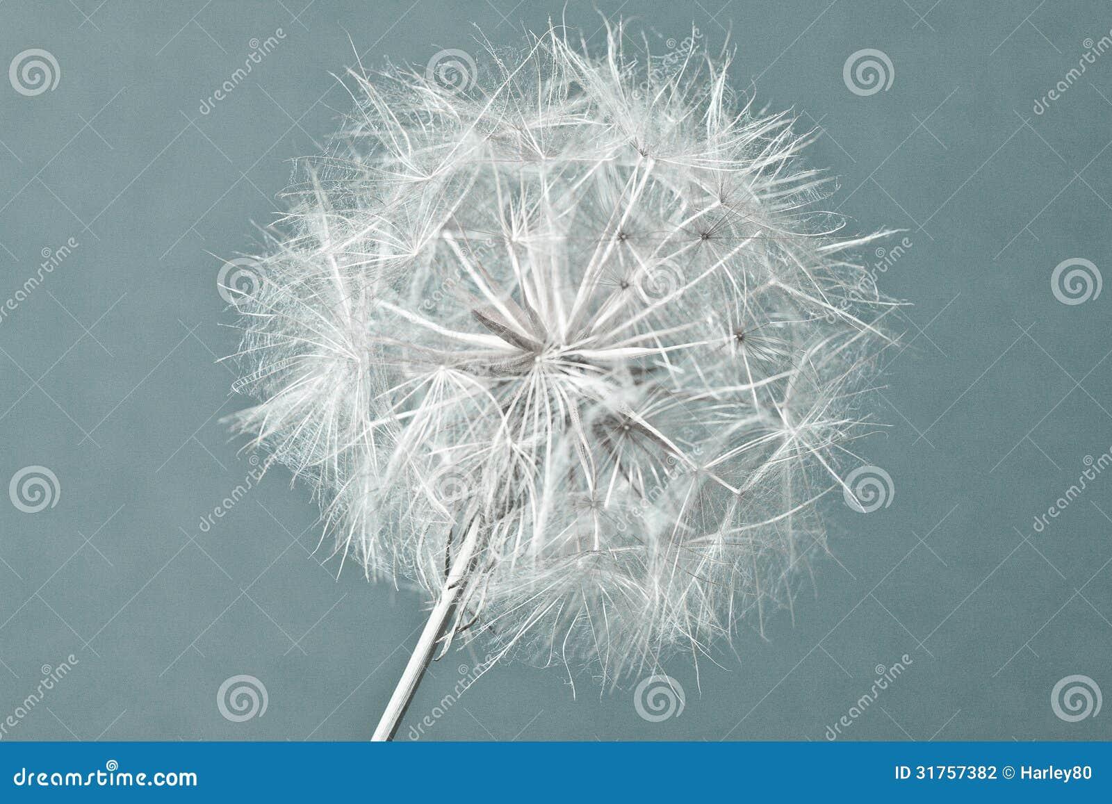 Abstrakcjonistyczny dandelion kwiatu tło, krańcowy zbliżenie.