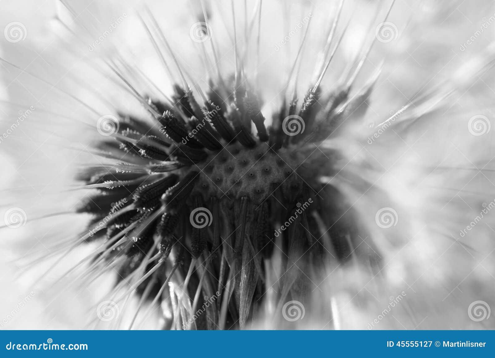Abstrakcjonistyczny dandelion kwiatu tło, krańcowy zbliżenie Duży dandelion na naturalnym tle