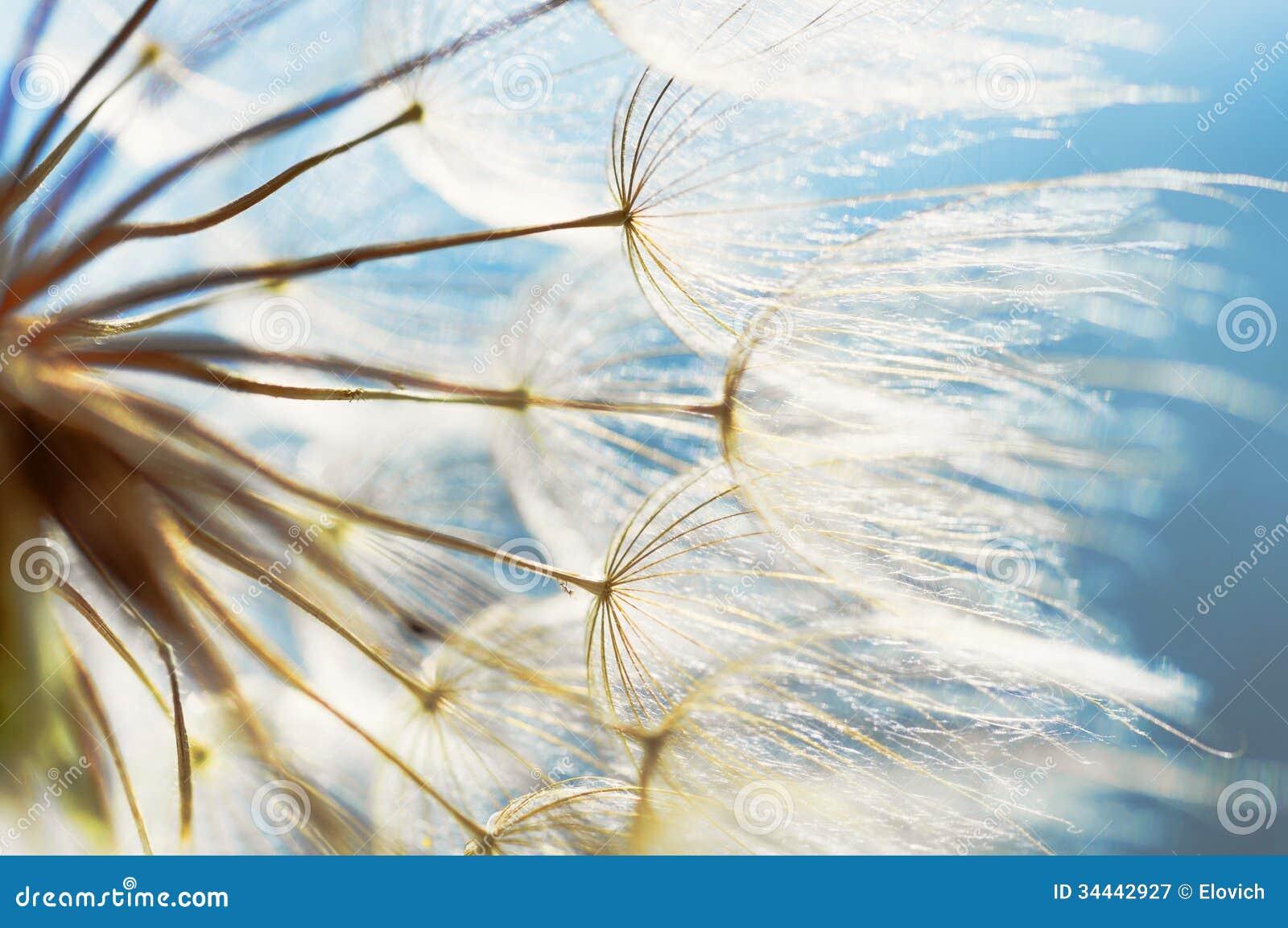 Abstrakcjonistyczny dandelion kwiatu tło, zbliżenie z miękką ostrością