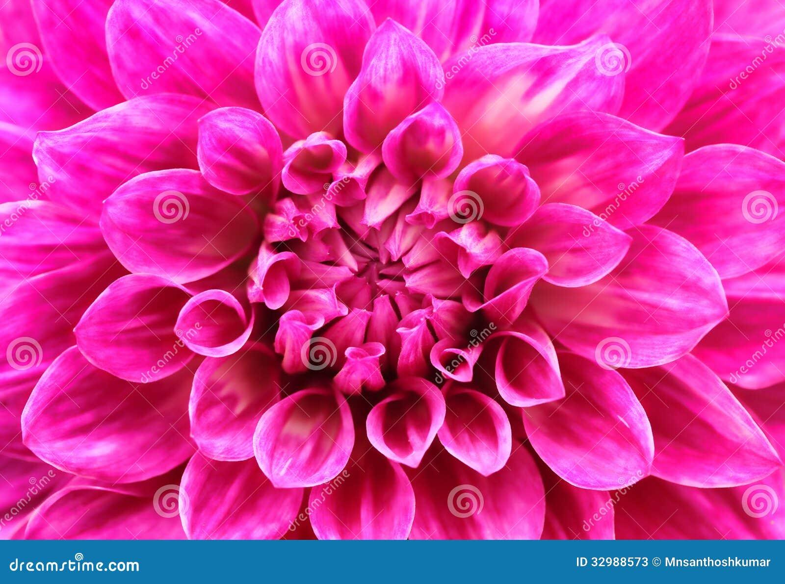Abstrakcjonistyczny makro- różowy dalii stokrotki kwiat z uroczymi płatkami