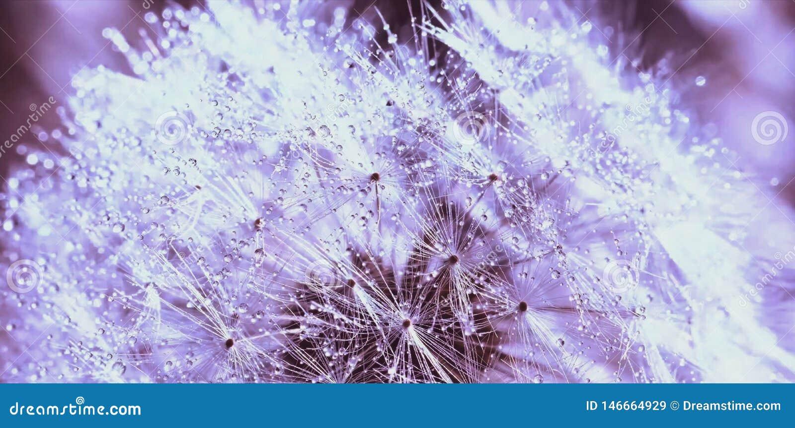 Abstrakcjonistyczny tło, piękni biali dandelion flowrs