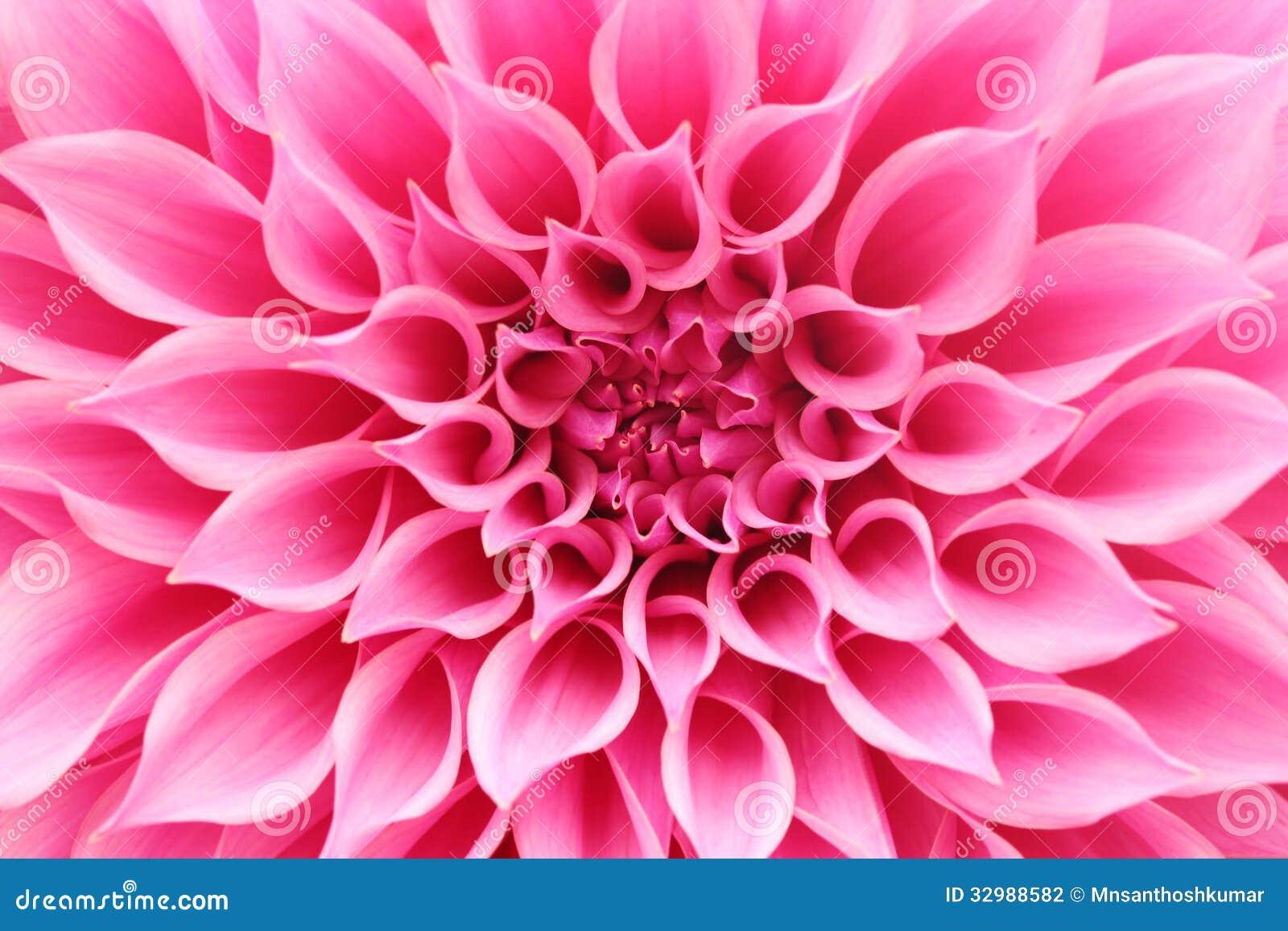 Abstrakcjonistyczny zbliżenie różowy dalia kwiat z ładnymi płatkami (makro-)