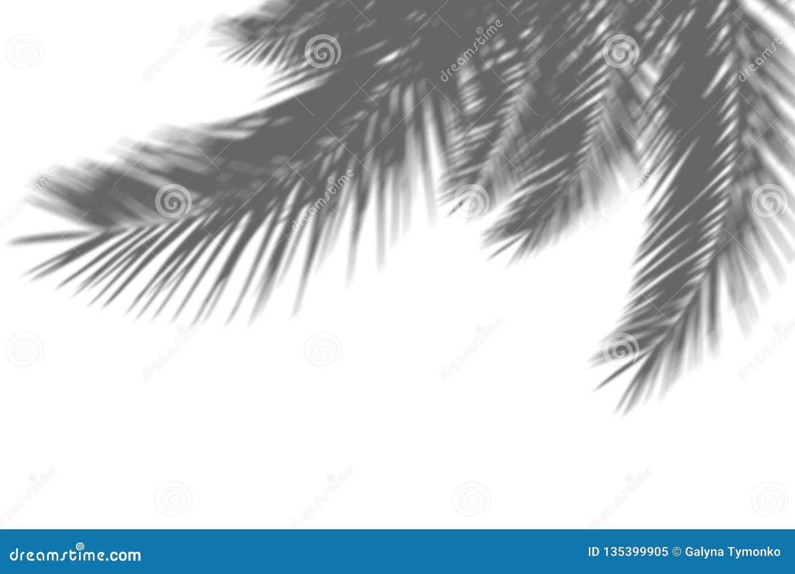 Abstrakt bakgrund av exotiska palmblad för skuggor på en vit vägg Vitt och svart för samkopiering ett foto eller en modell