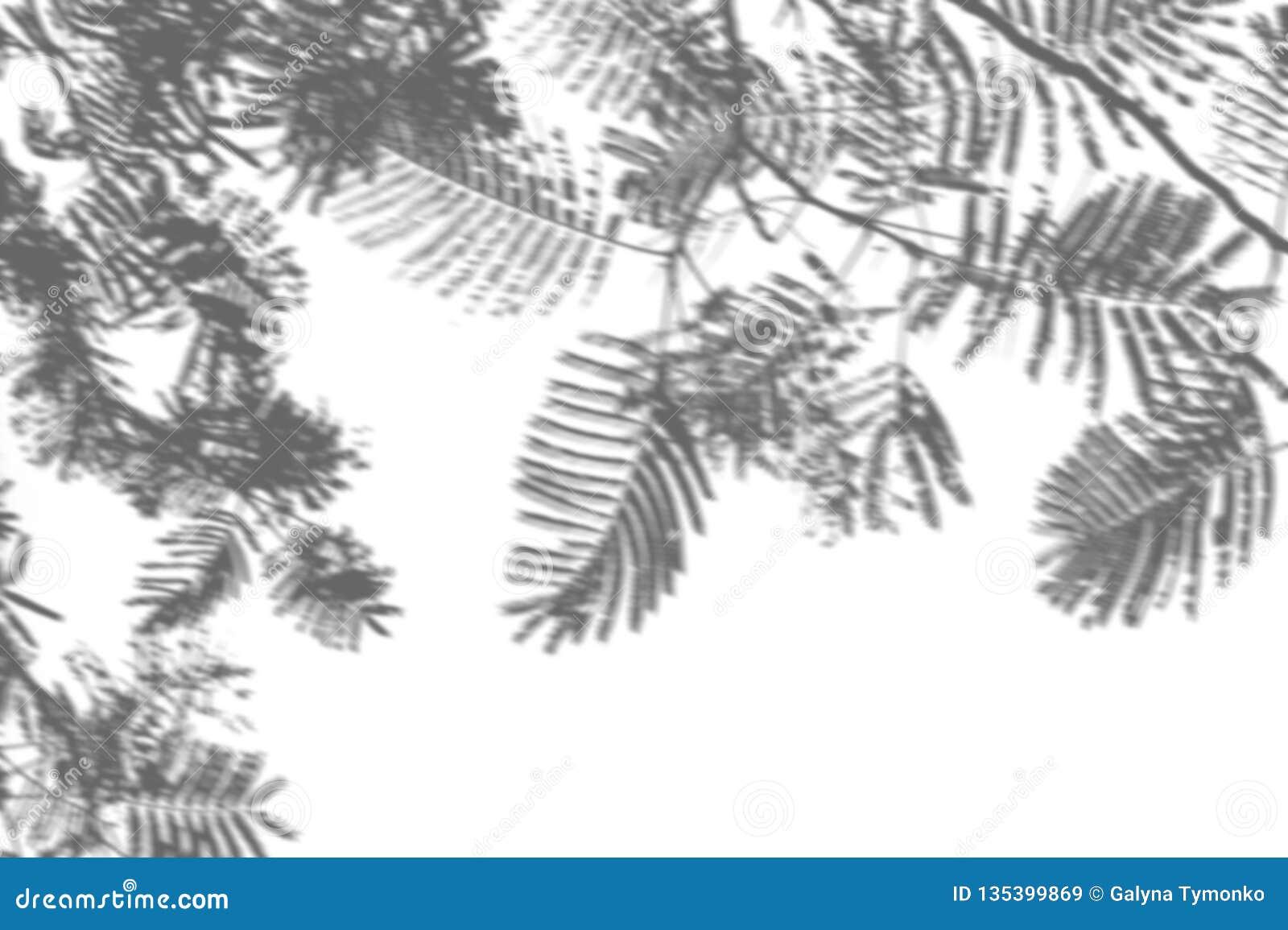 Abstrakt bakgrund av skuggapalmblad på en vit vägg Vitt och svart för samkopiering ett foto eller en modell