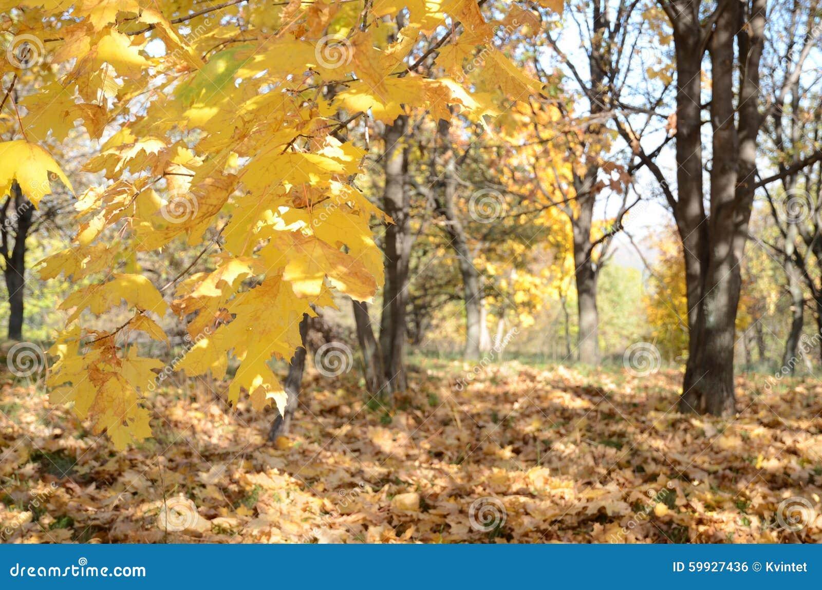 Abstrakt bakgrund med gula lönnlöv i höstskog i det löst