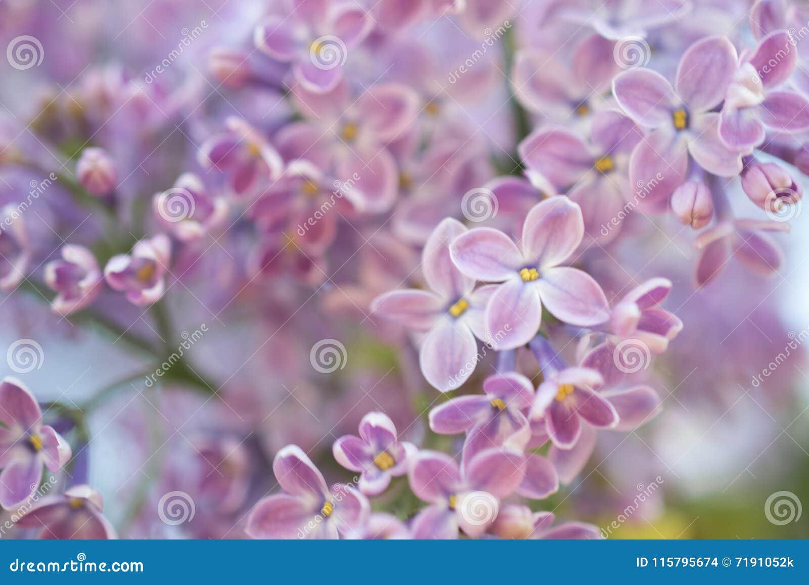 Abstrakt bakgrund Storen specificerar! lila blommas blommor blom- naturligt för bakgrund