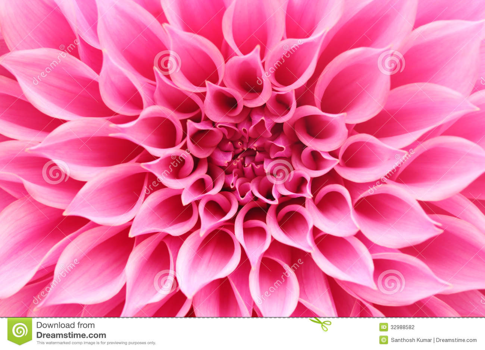 Abstrakt closeup (makro) av den rosa dahliablomman med nätta kronblad