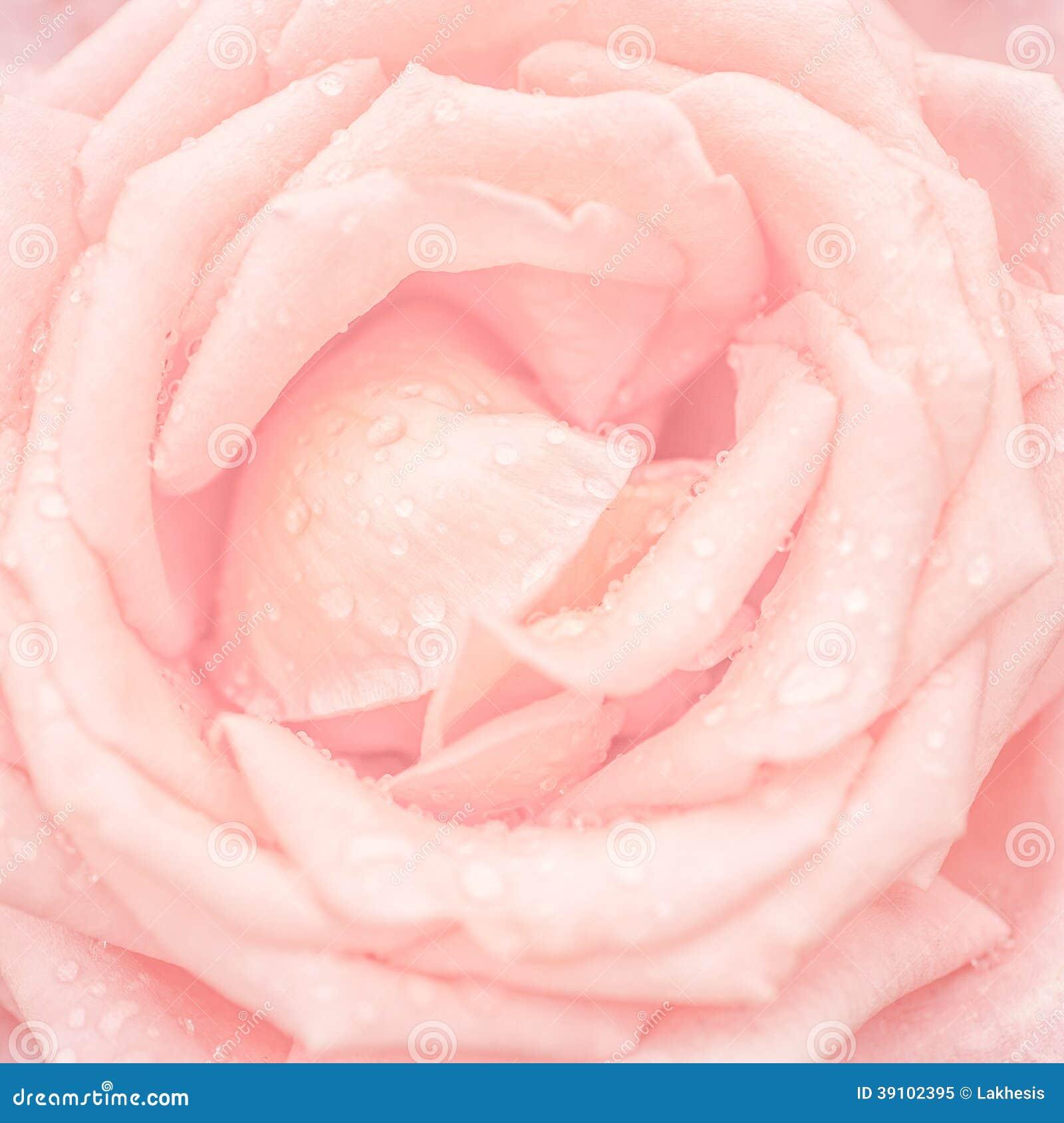 Abstrakt makroskott av den härliga rosa färgrosblomman med vattendro