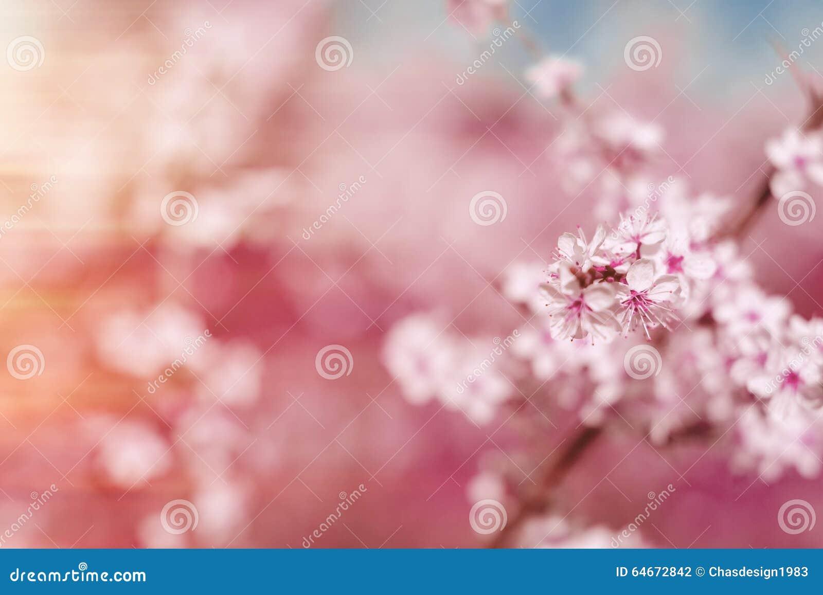 Abstrakt wiosny różowy tło z czereśniowym Sakura kwitnie, wcześnie