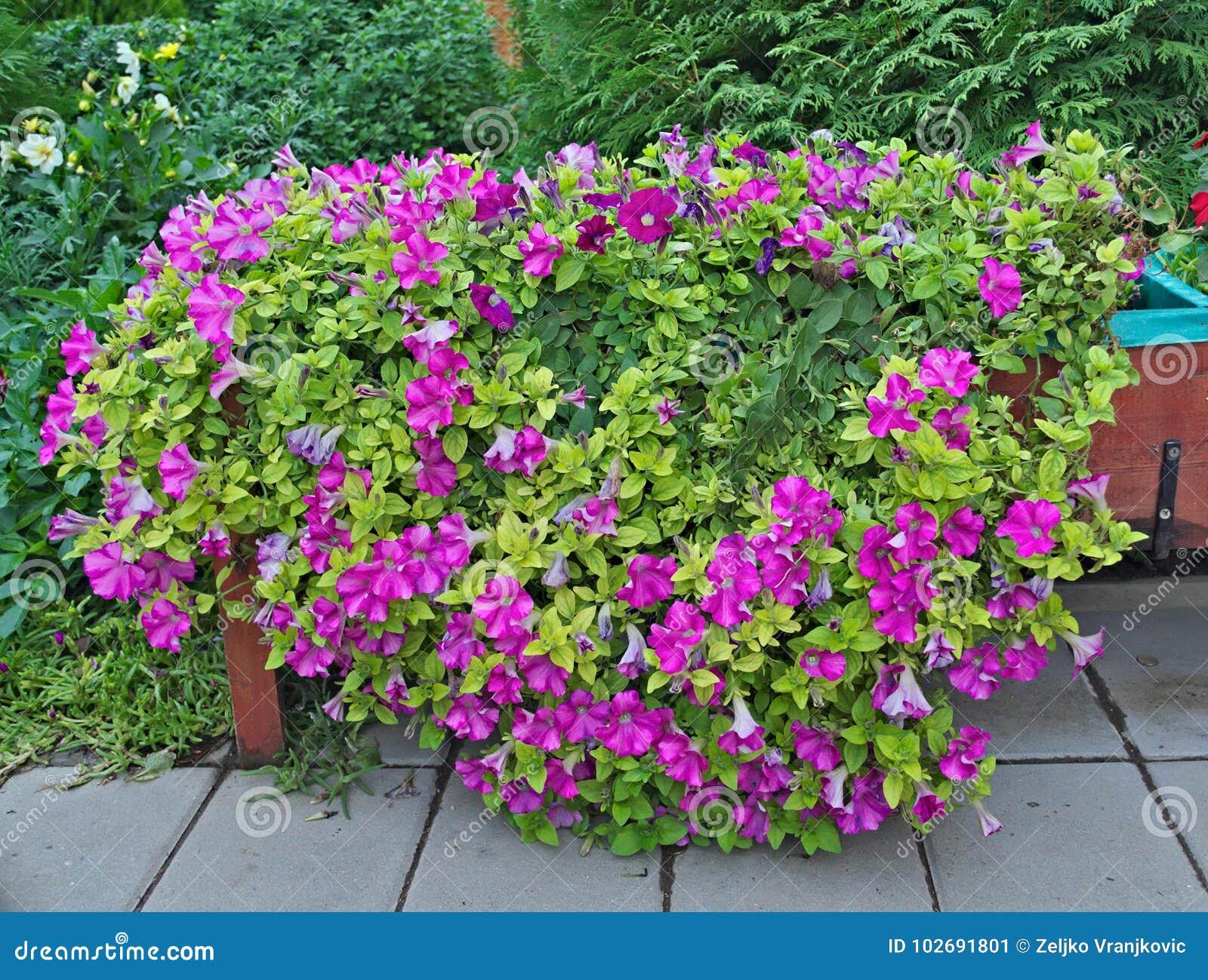 Abundance Of Plants With Purple Flowers In Big Pot Outdoor Stock