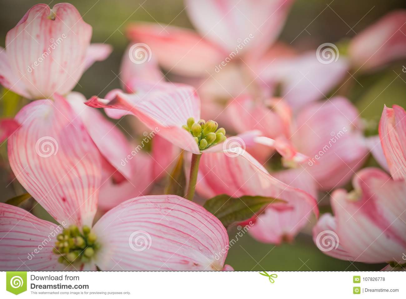 An abundace of flowering pink dogwood blossoms stock photo image download an abundace of flowering pink dogwood blossoms stock photo image of pink spring mightylinksfo