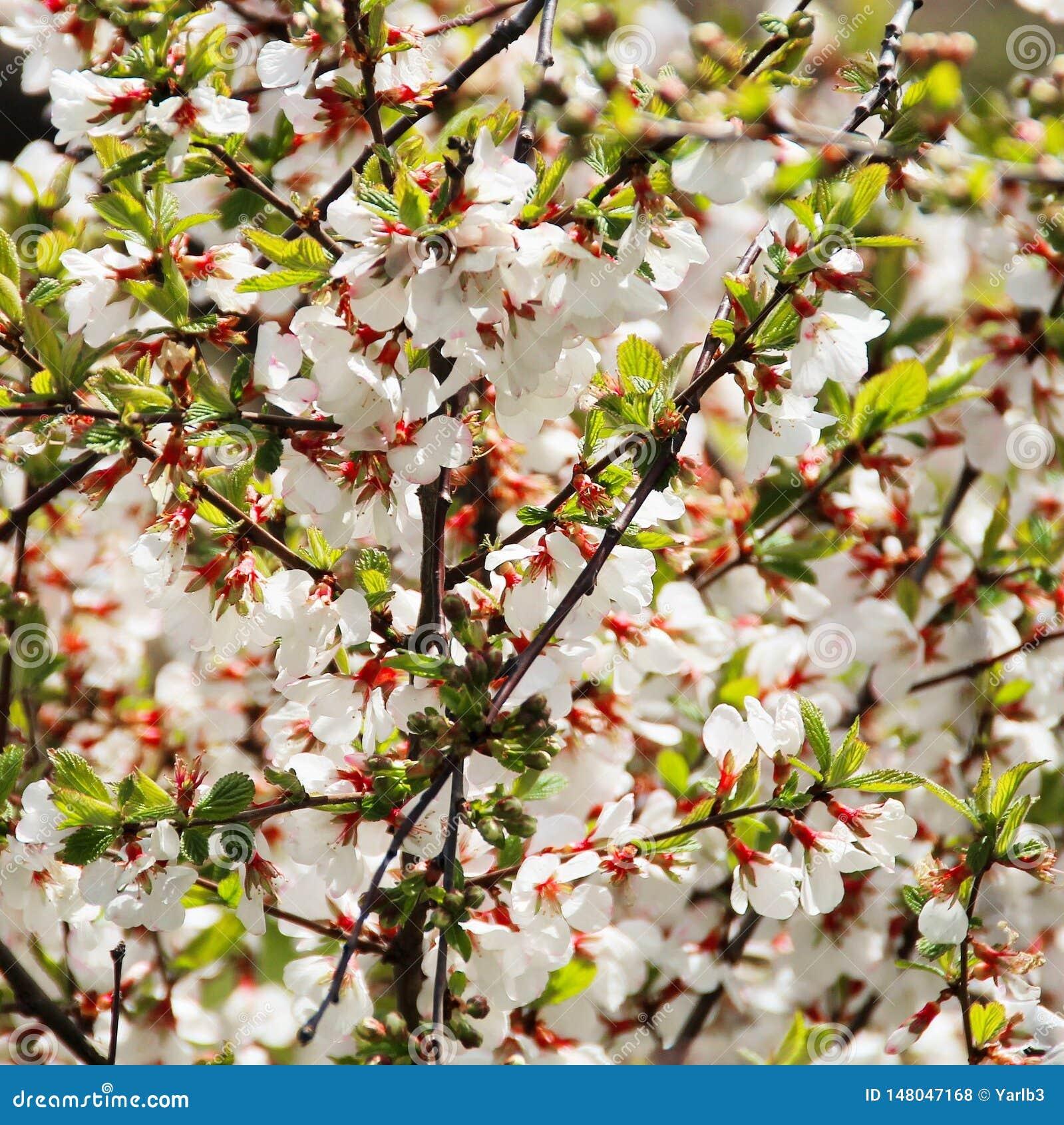 Abundantly blooming cherry