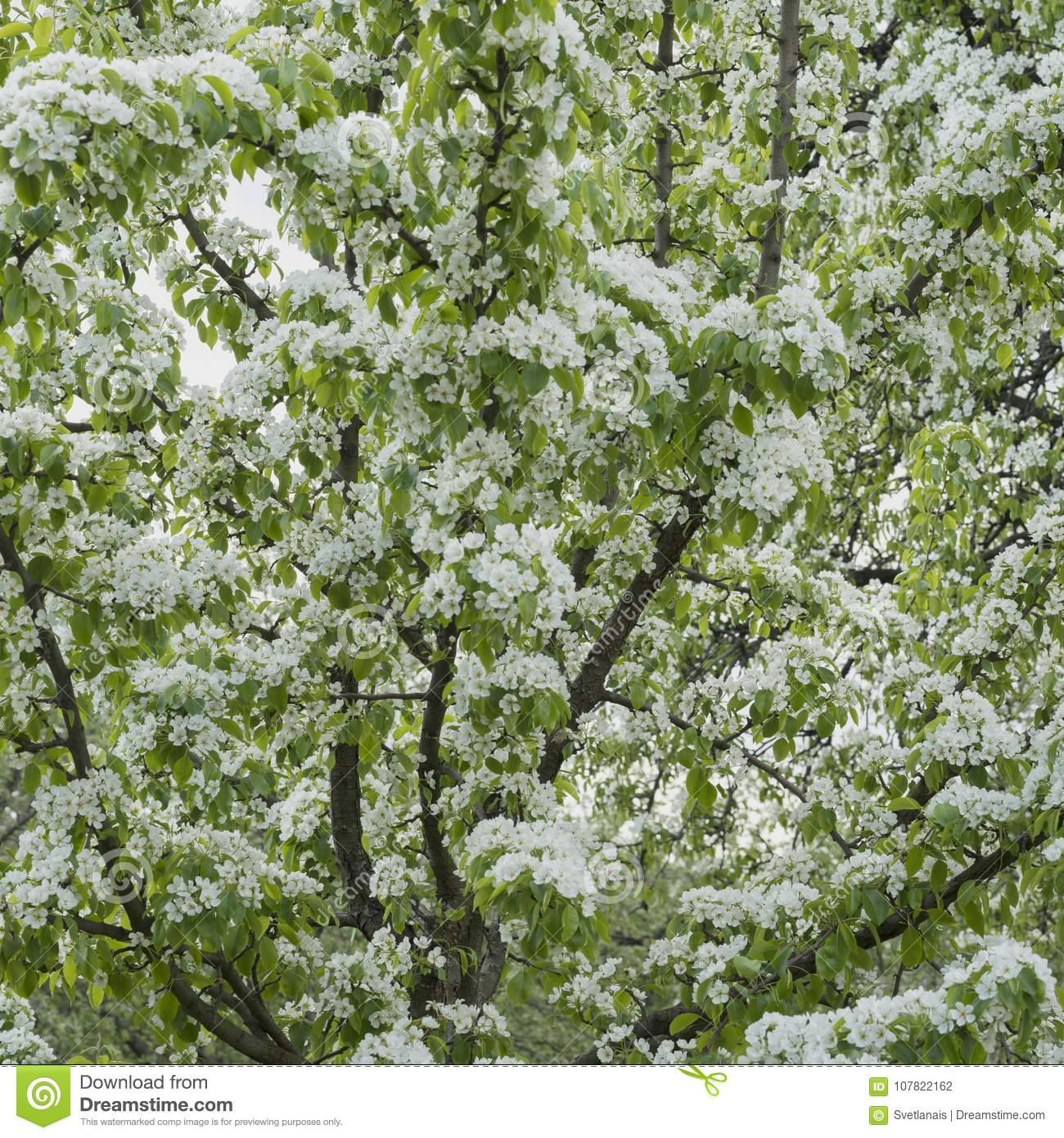 Abundantly Blooming Spring Branches Of Fruit Tree With White Flowers