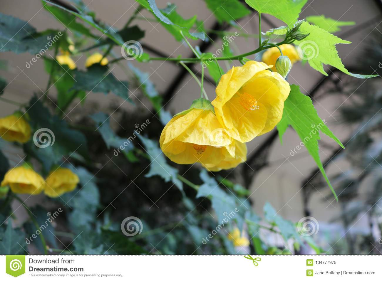 Abutilon Yellow Flower Canary Bird Stock Image Image Of Beautiful
