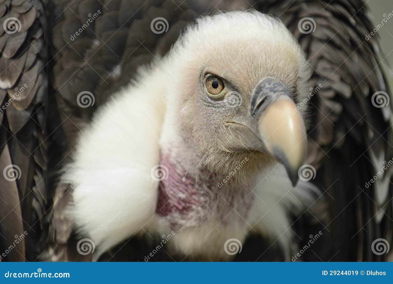 Download Abutre imagem de stock. Imagem de predator, pássaro, bico - 29244019