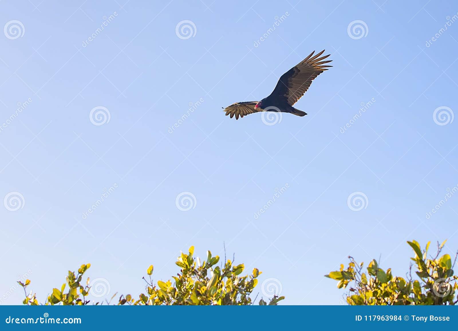 Abutre de turquia que sobe altamente no céu