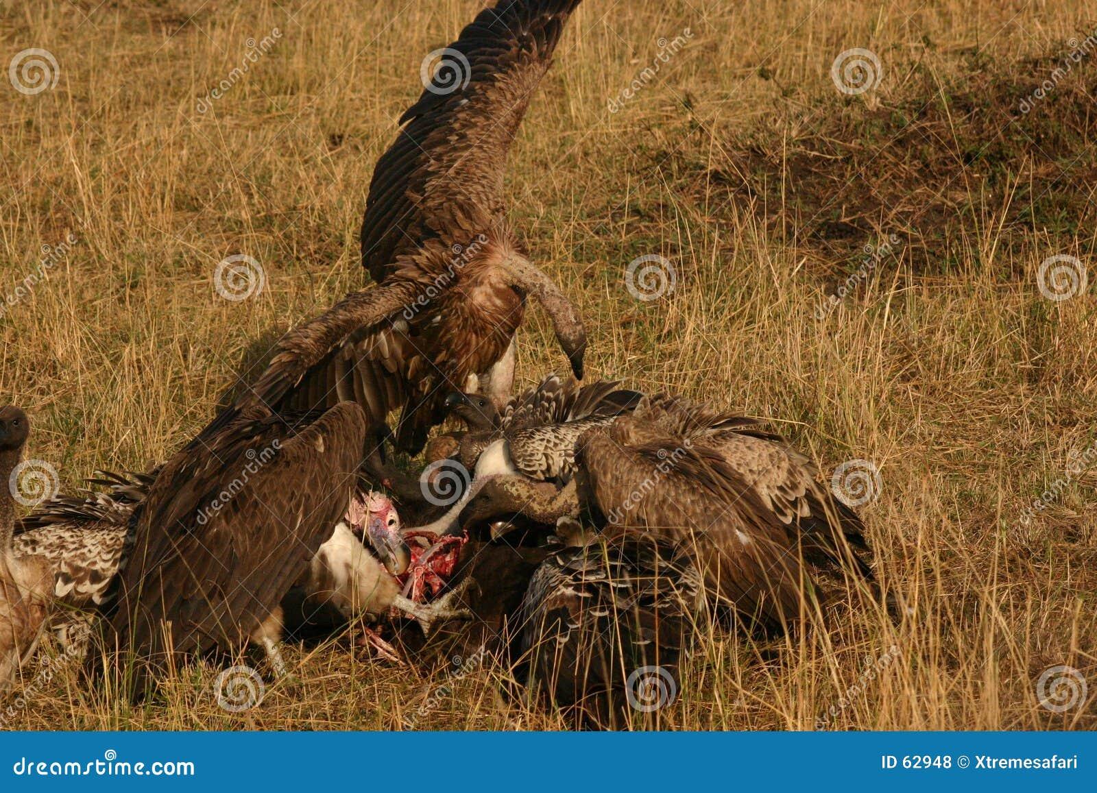 Abutres em uma matança