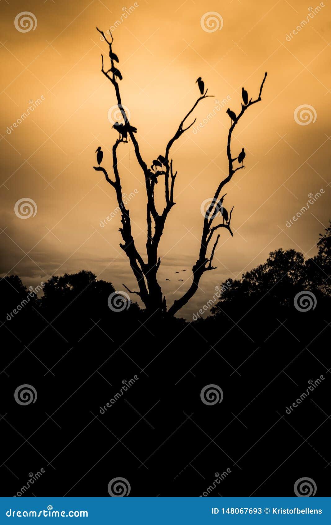 Abutres que sentam-se na árvore inoperante no por do sol, árvore na silhueta