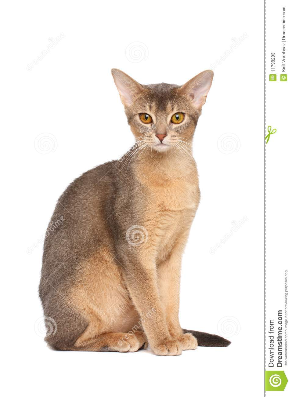 Abyssinian cat stock image. Image of background, kitten - 11798293