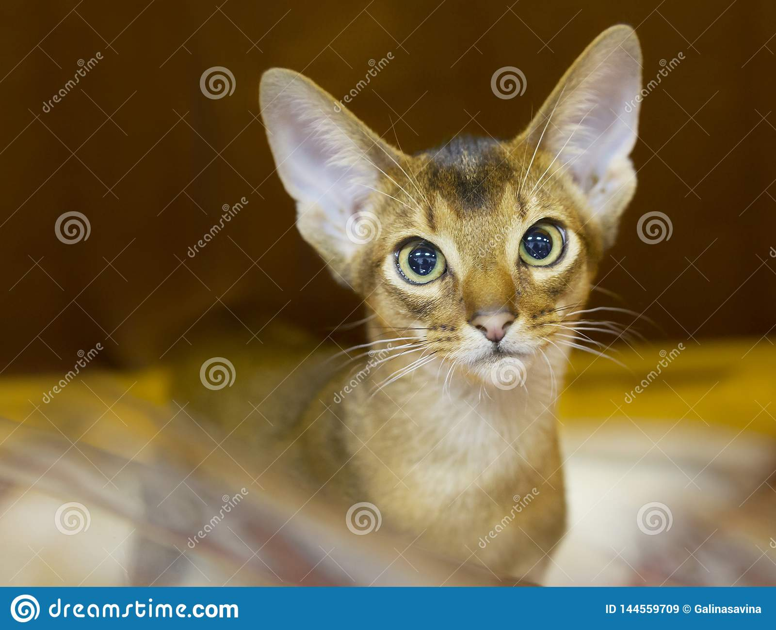 Abyssinian Cat Short Hair Chocolate Color Stock Image Image Of Purebred Companion 144559709