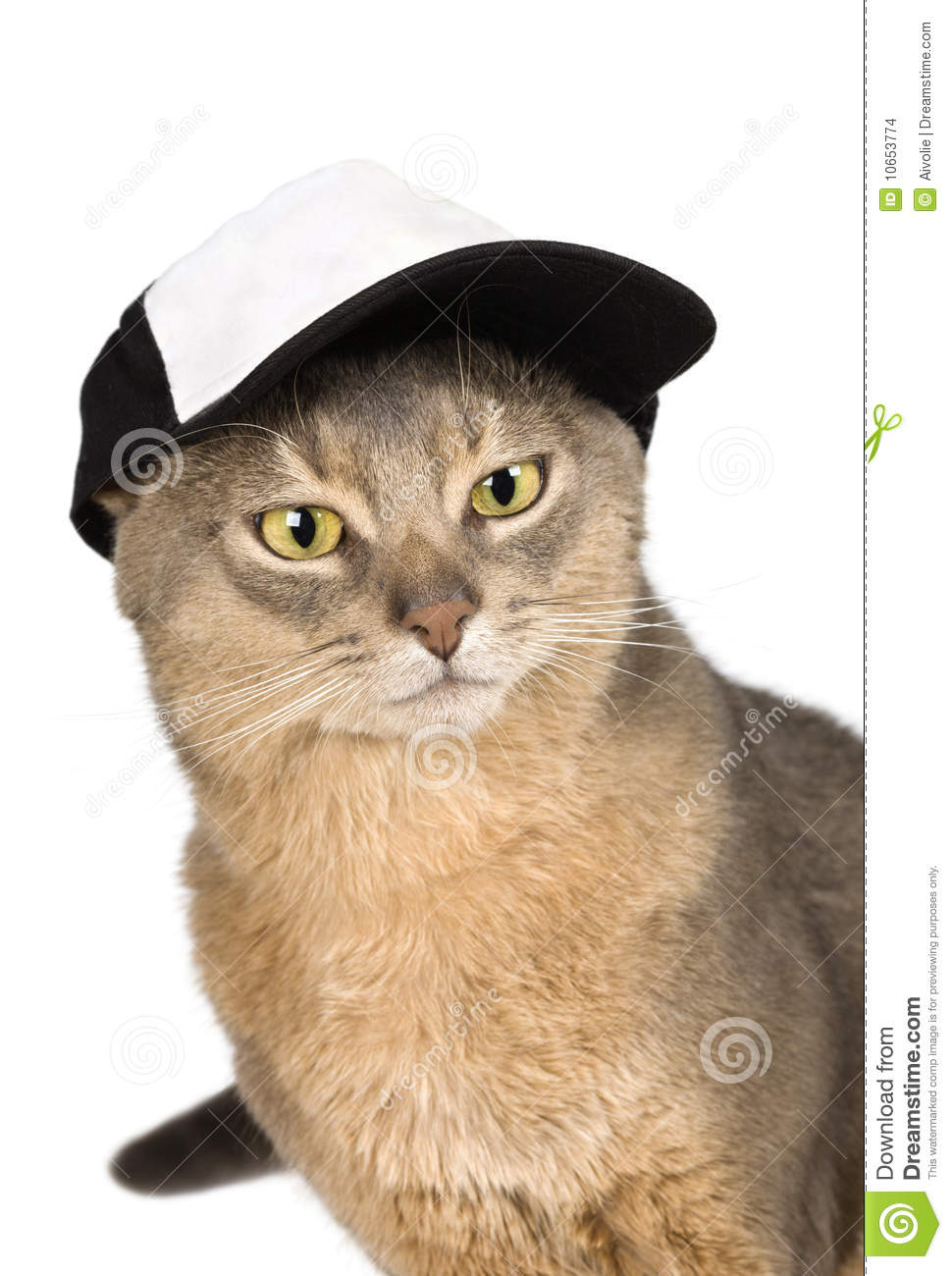 abyssinian cat in baseball cap isolated on white stock