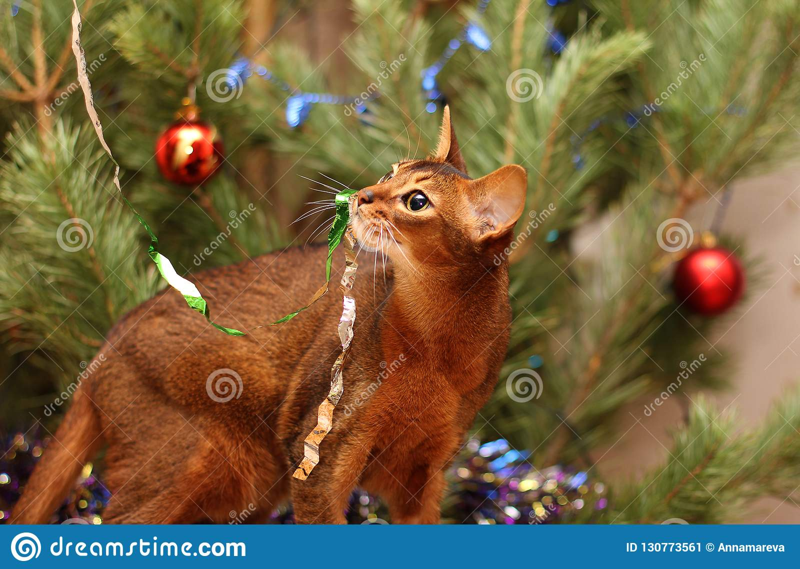 Abyssinian cat plays near the Christmas tree. Tinsel hung on the cat`s mustache.