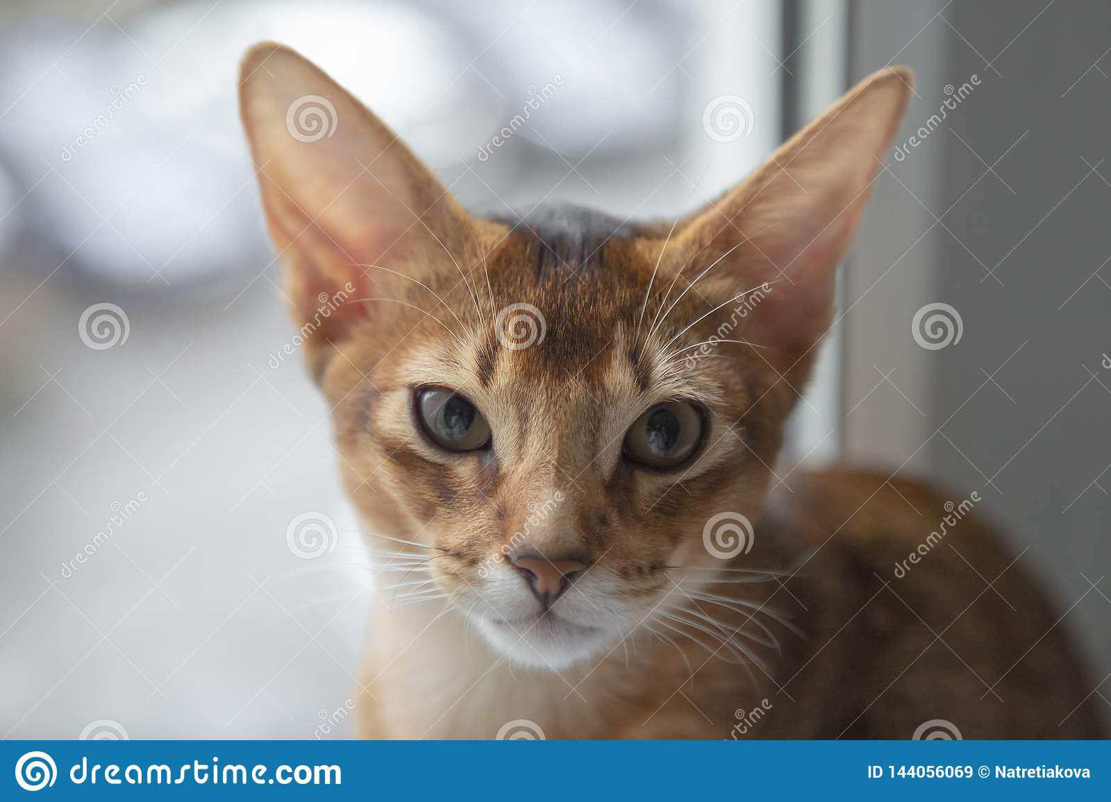 The Abyssinian Cat Sits Close Up Wild Color Stock Image Image Of Isolated Close 144056069