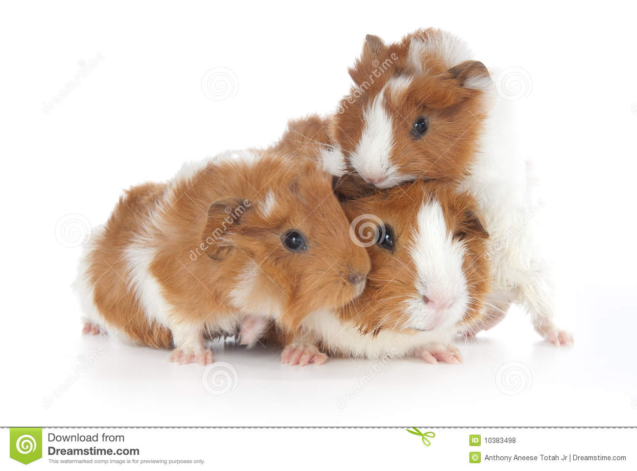 Abyssinian guinea pigs cavia porcellus stock photo for Free guinea pig stuff