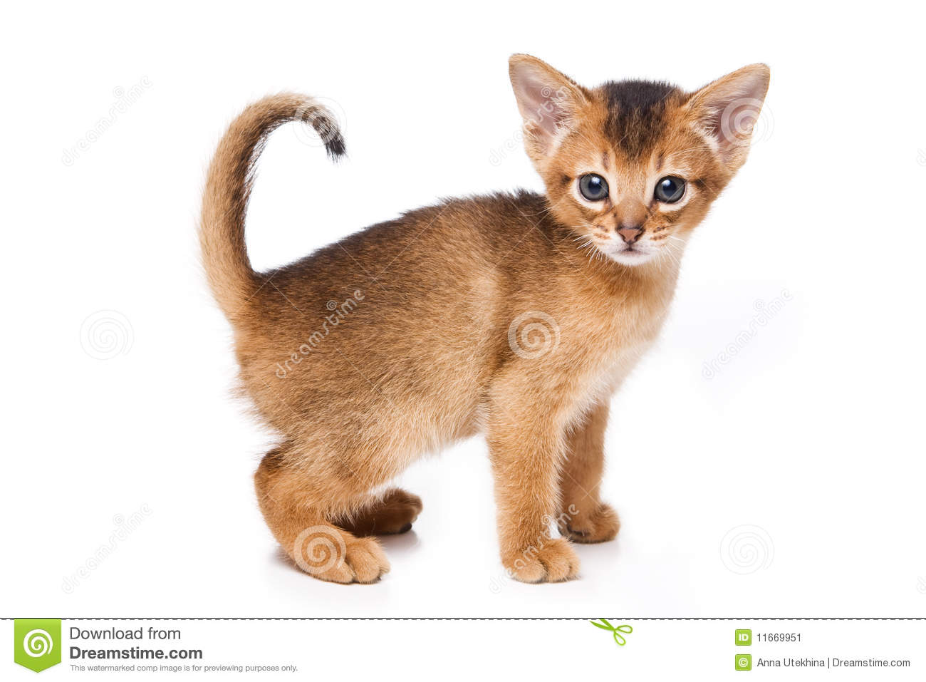 Abyssinian kitten stock image. Image of animal, cute - 11669951