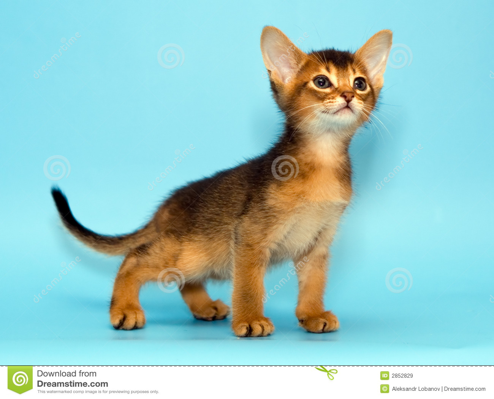 Abyssinian kitten stock image. Image of beautiful, little - 2852829