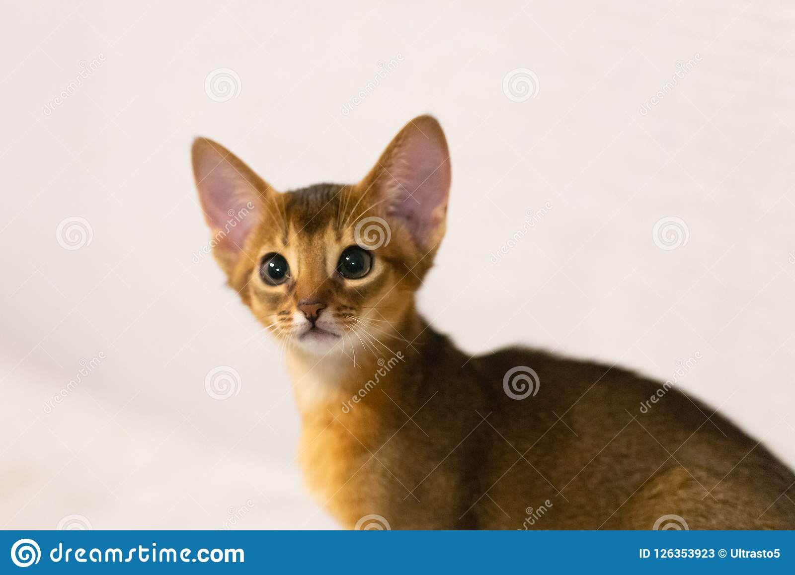 Abyssinian Kitten Ancient Cat Breed Stock Image Image Of Breed Animal 126353923