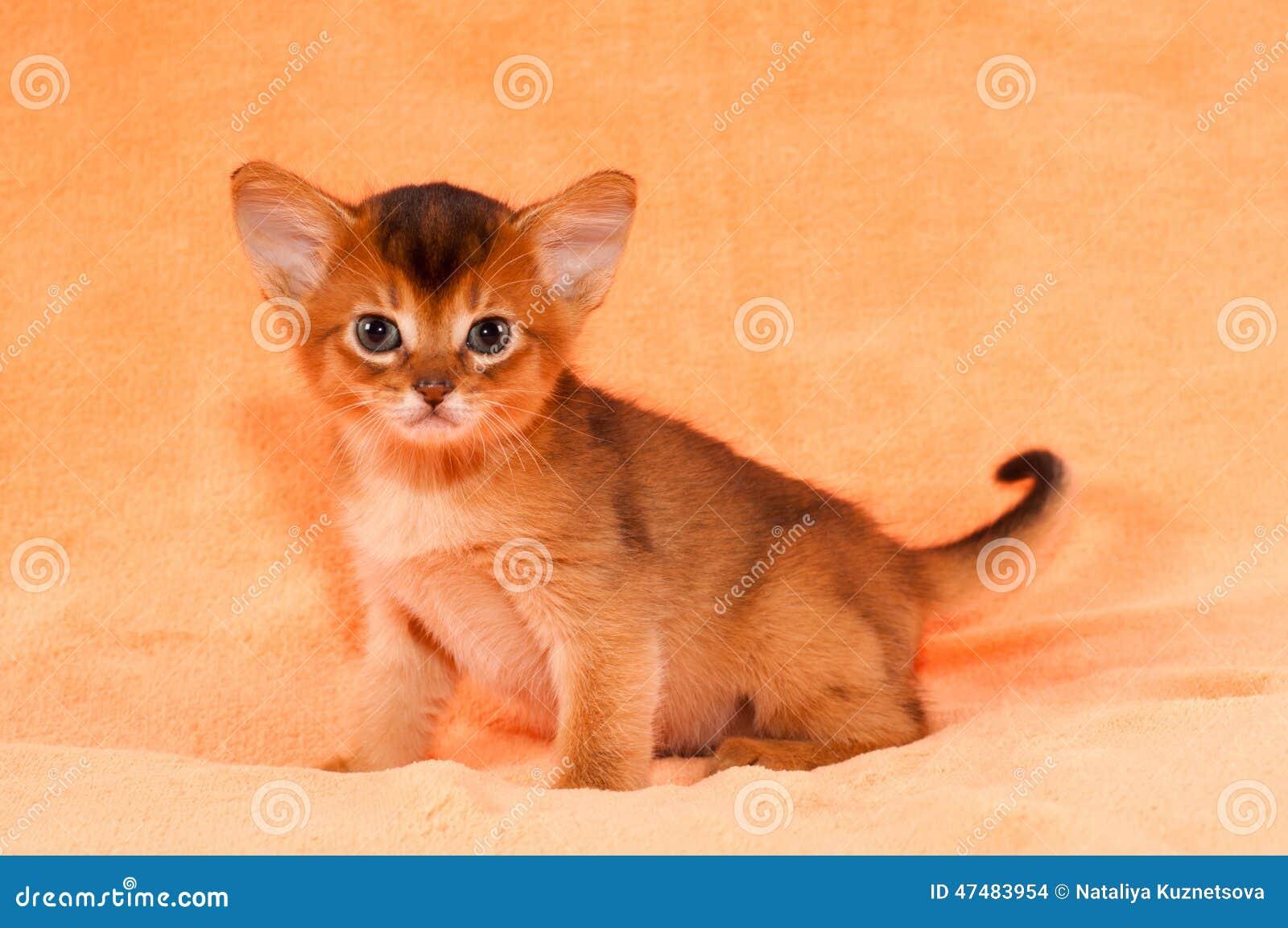 Abyssinian Cat Big Ears