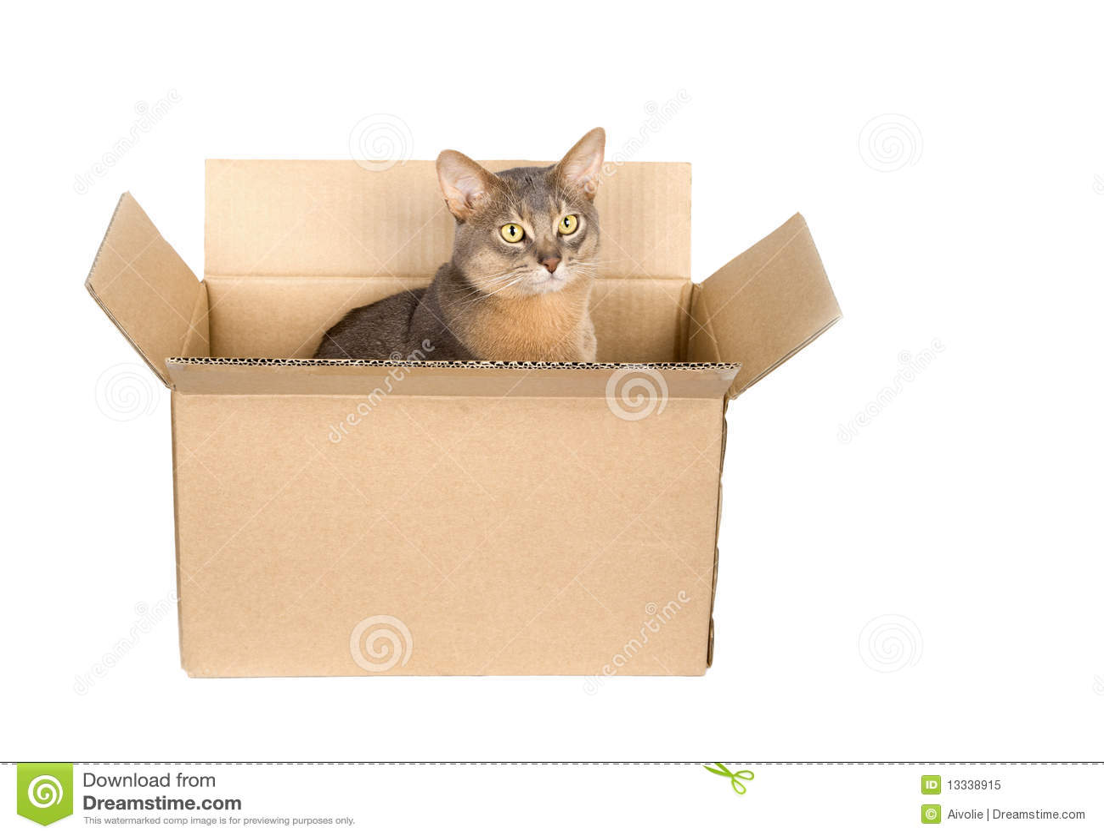 Abyssinian pudełkowaty kota papier
