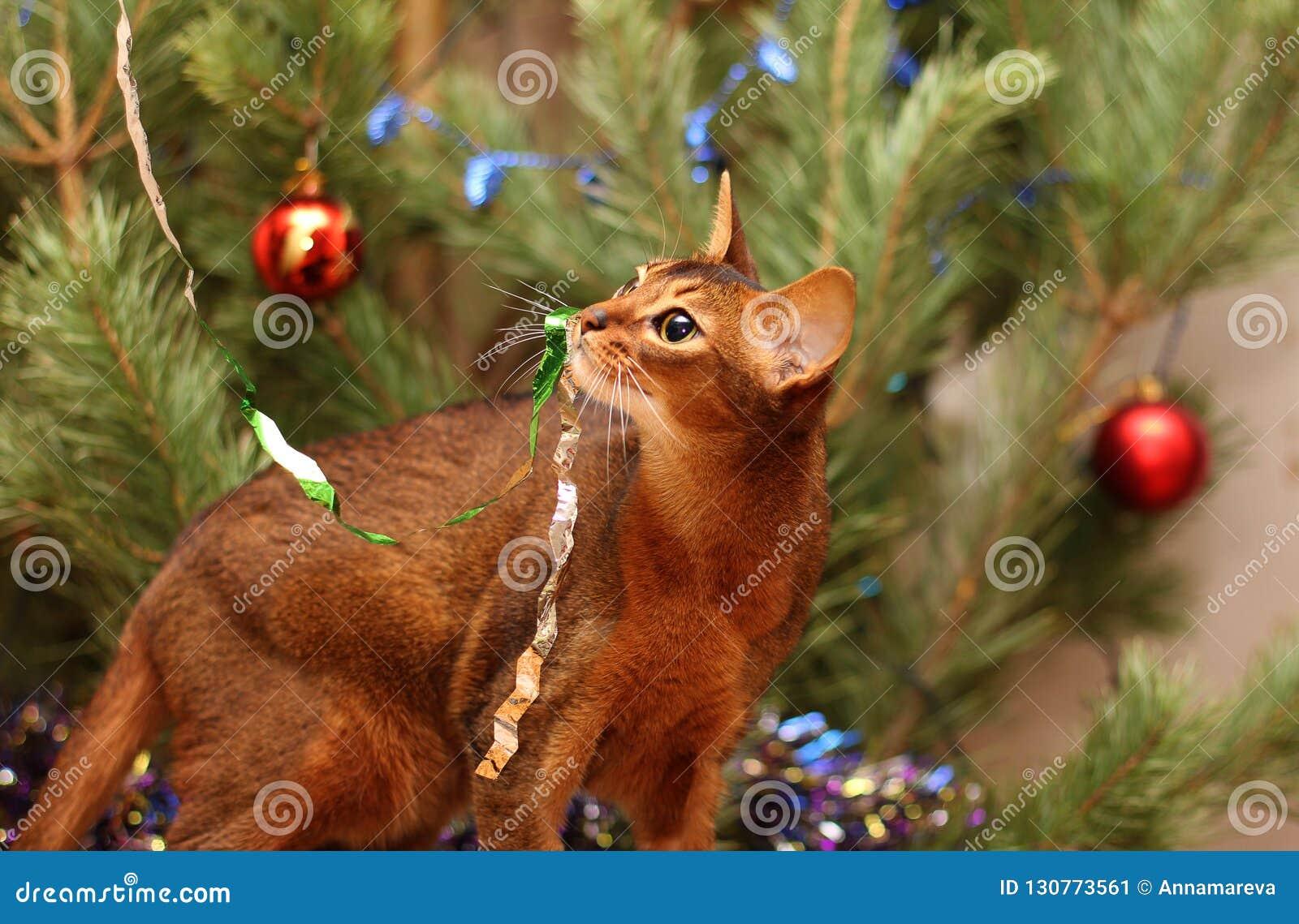 Weihnachtsbaum Spiele.Abyssinische Katzenspiele Nahe Dem Weihnachtsbaum Lametta Hing Am