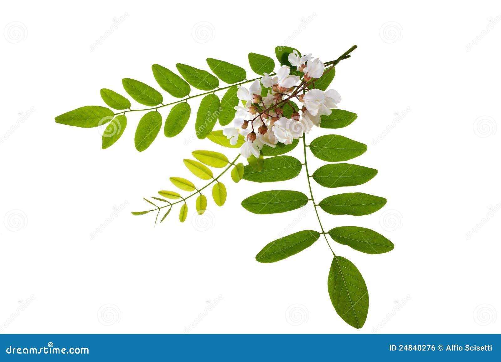 Acacia Royalty Free Stock Image - Image: 24840276 Oak Tree Clip Art