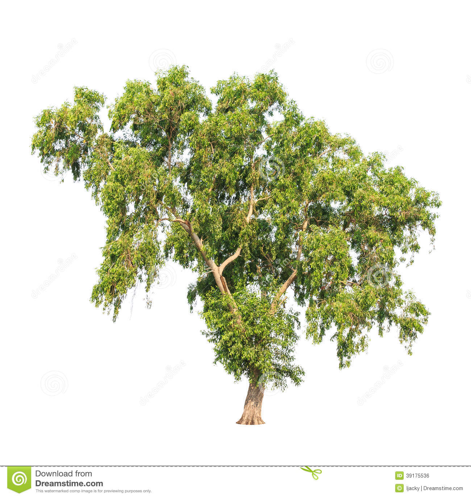 Acacia auriculiformis albero tropicale isolato fotografia for Acacia albero
