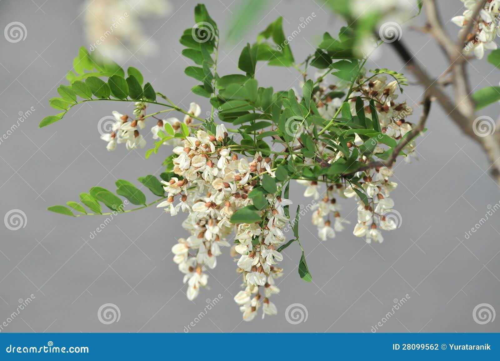Acacia blanco