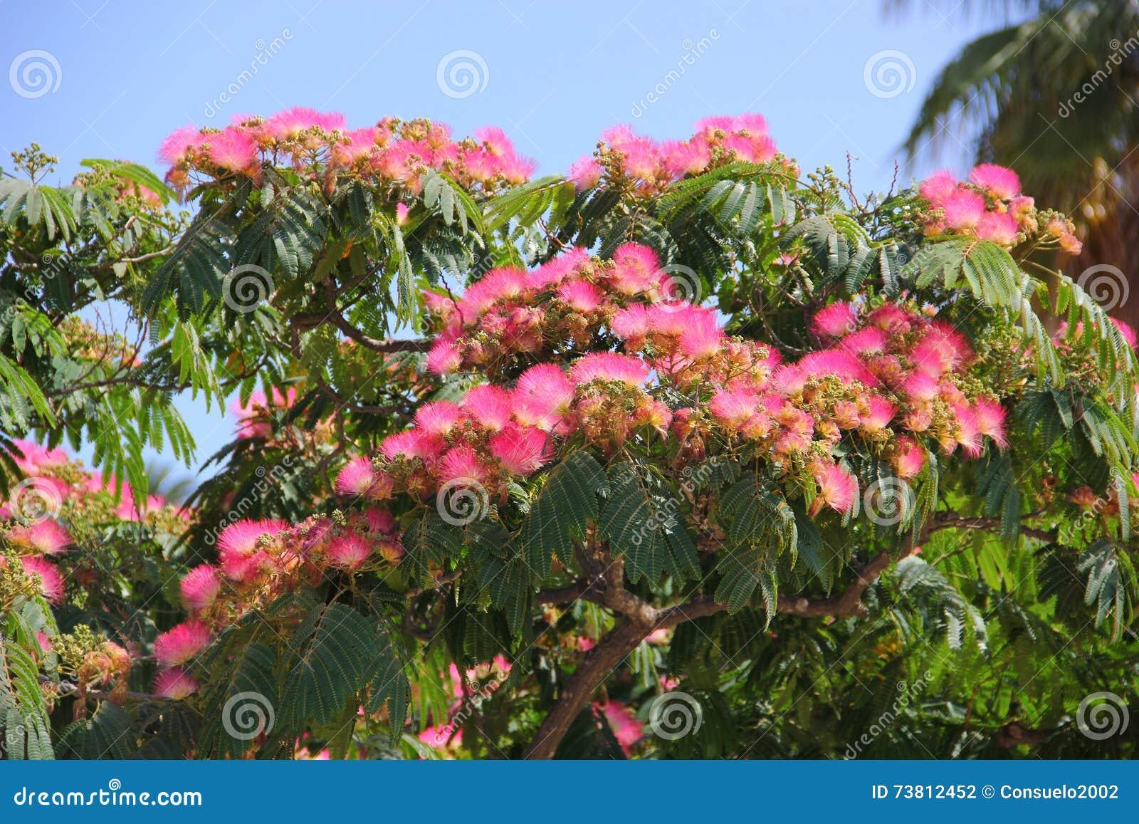 Acacia De Lenkoran O árbol De Seda Foto De Archivo Imagen De