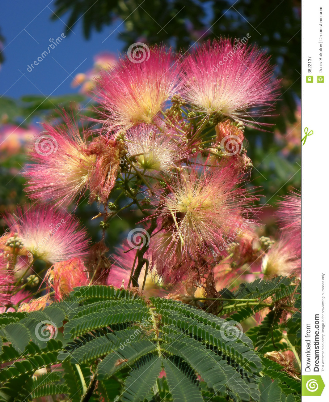 Acacia Flowering Stock Image Image Of Blossom Plant 3622137