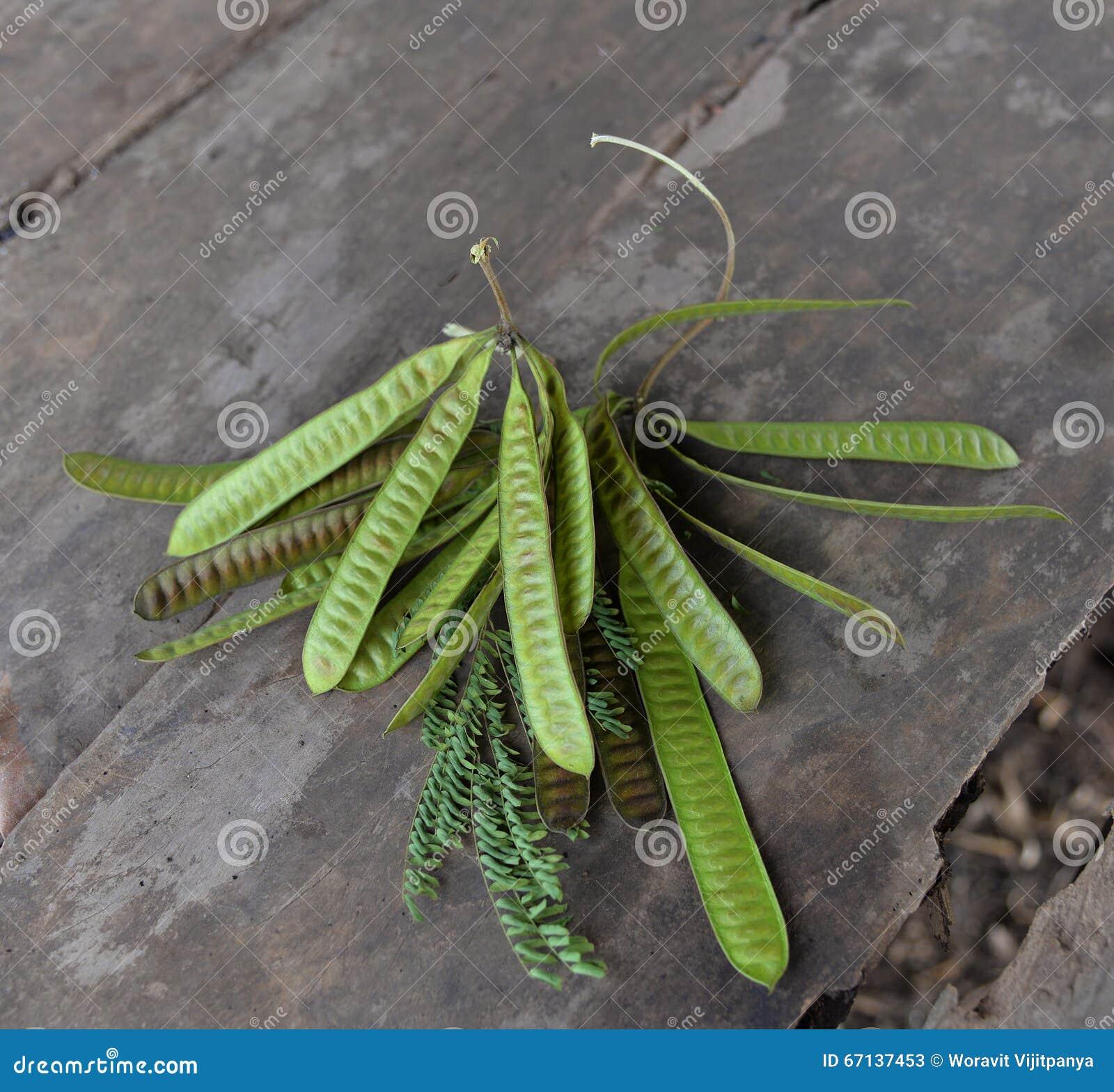 Acacia Fruit Stock Image Image Of Leaves Hanging Honey 67137453