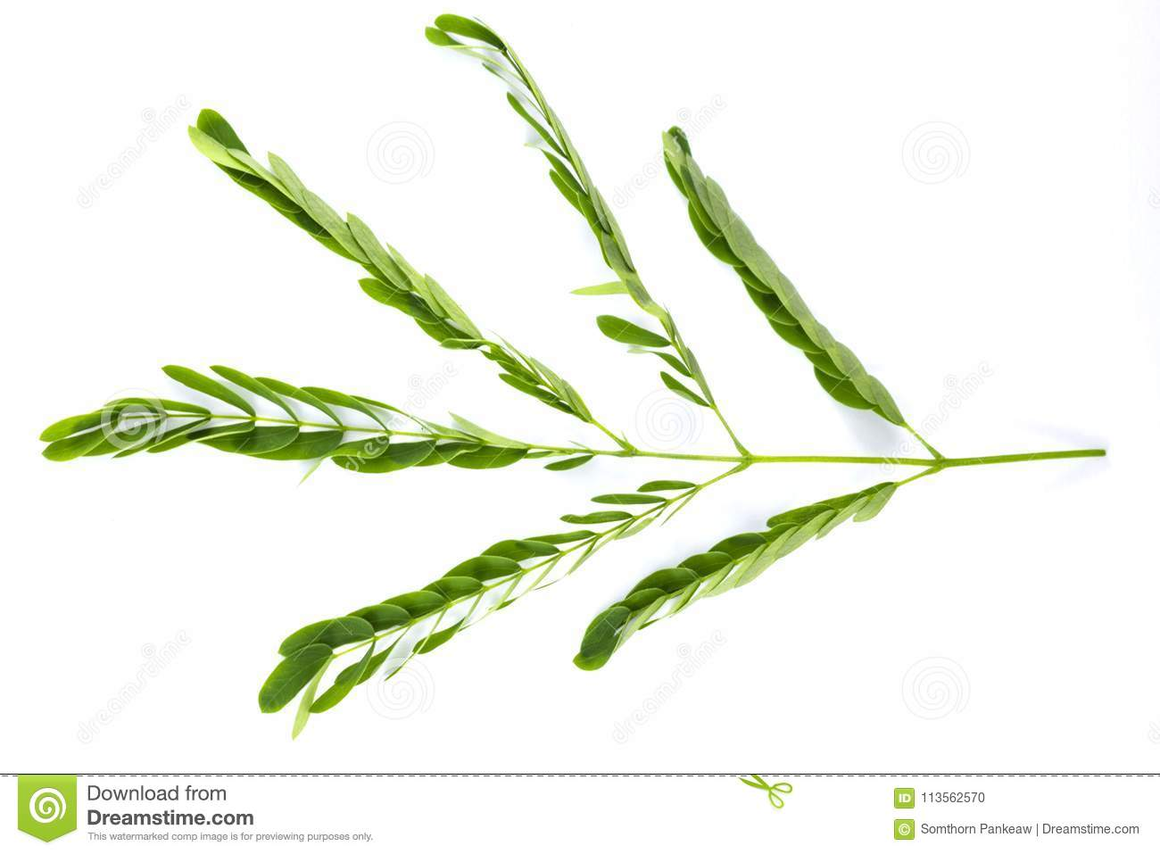 Acacia Leaves On A White Background Stock Photo Image Of Tree