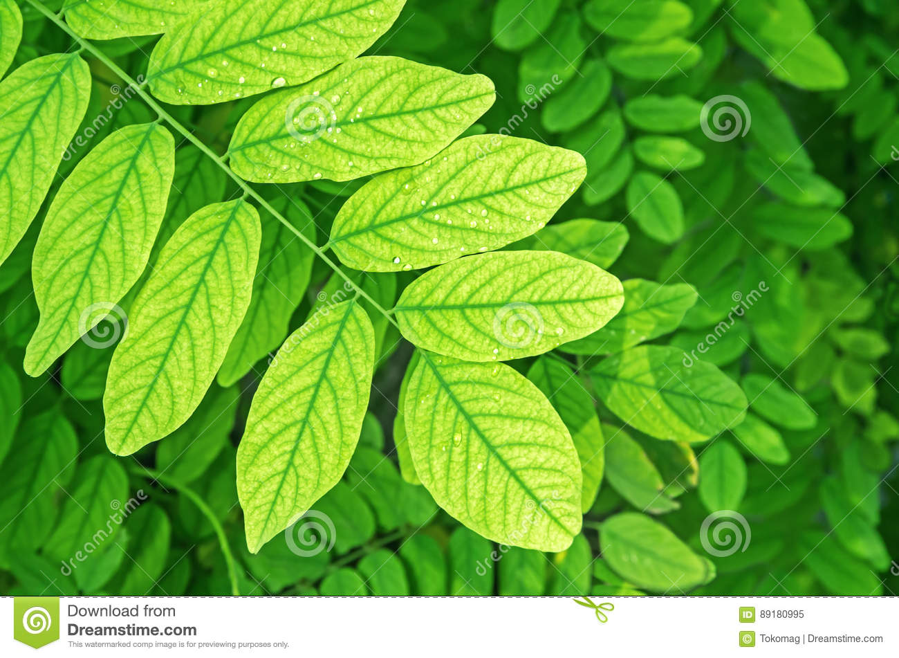 Acacia Leaves Stock Image Image Of Leaves Leaf Beautiful 89180995
