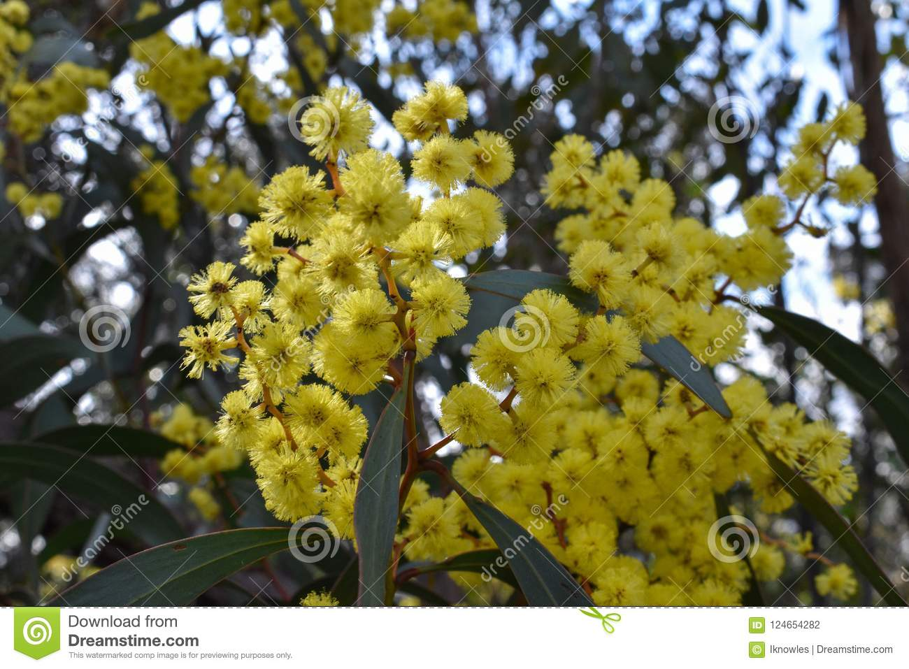 Acacia Pycnantha Golden Wattle Yellow Flower Stock Photo Image Of
