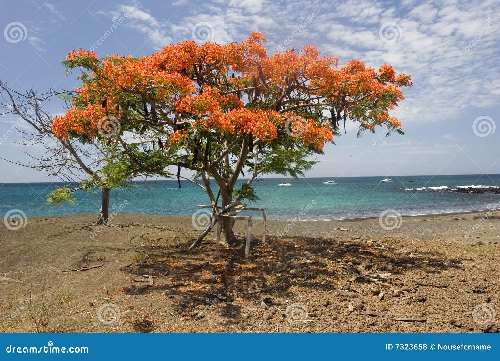 Acacia sull isola di Floriana