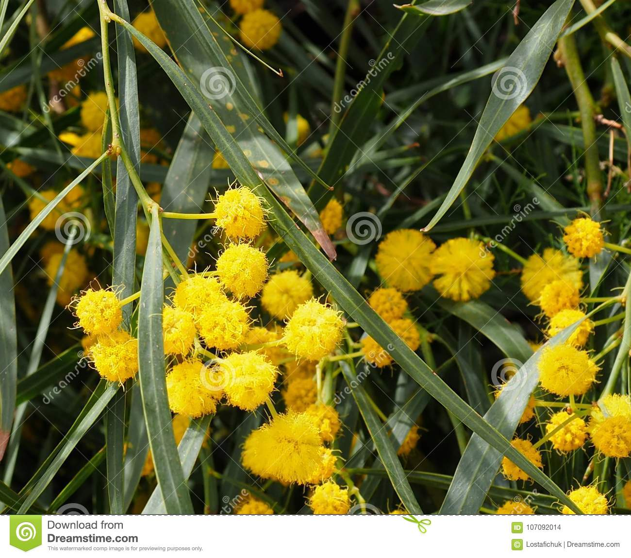 Acacia Tree In Bloom In Crete Stock Photo Image Of Flowered