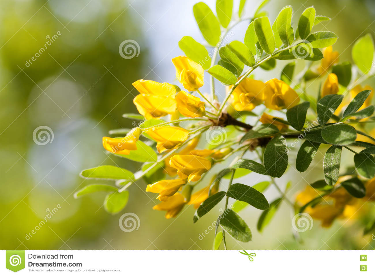 Acacia Tree Branch With Green Leaves And Yellow Flowers Blooming