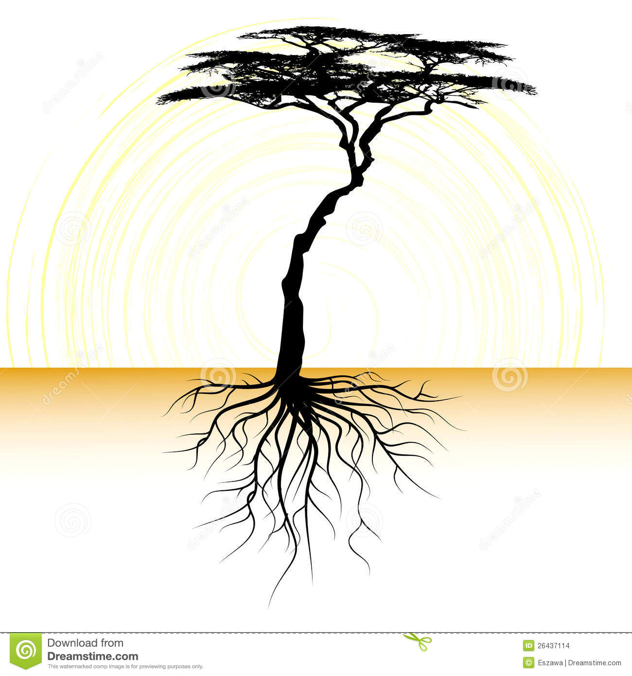 Acacia tree with a root
