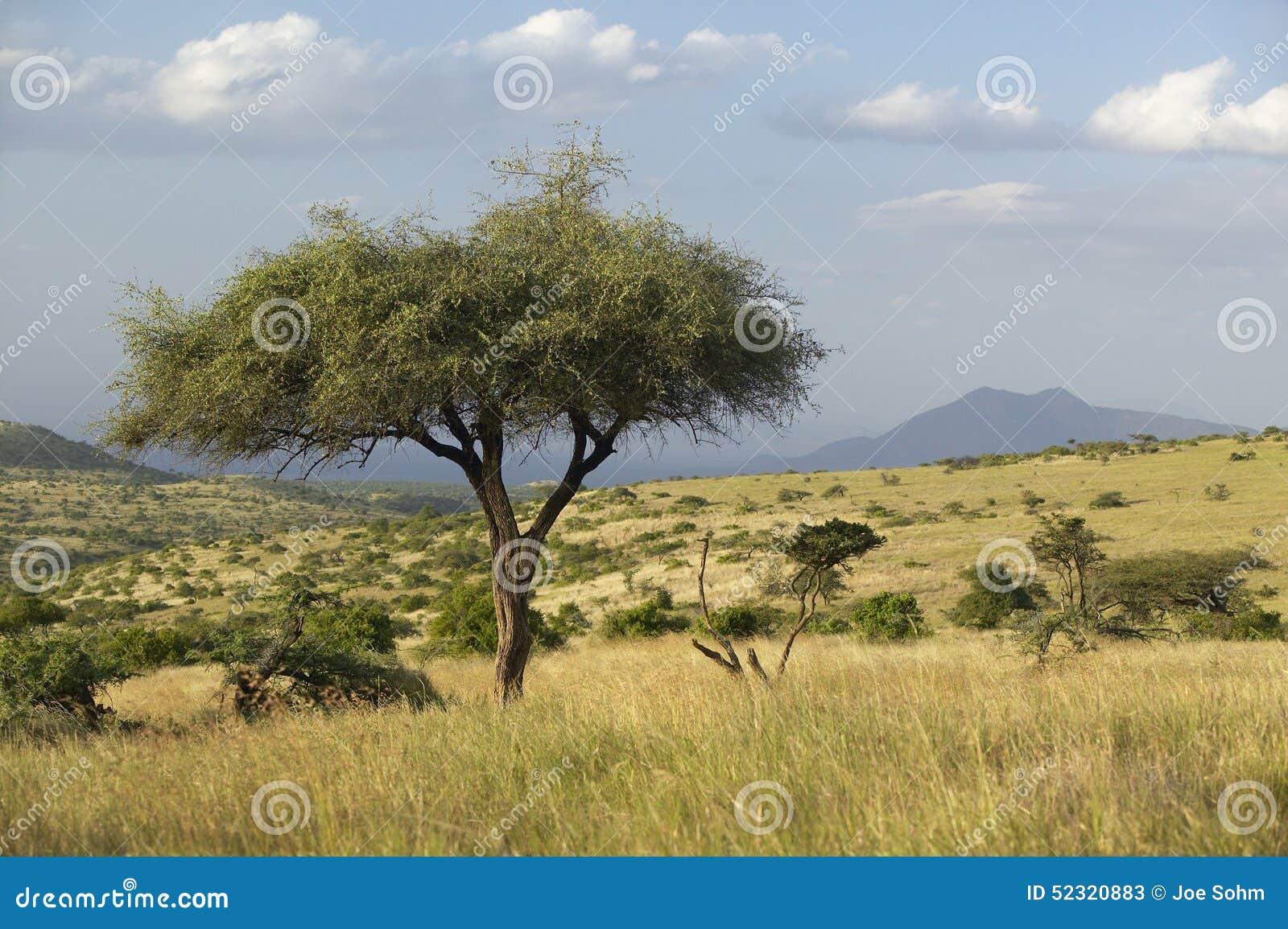 Download Acacia Tree At Sunset At Lewa Conservancy, Kenya, Africa Stock Image - Image of lewa, bush: 52320883